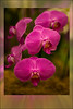 Orchid Mania : 